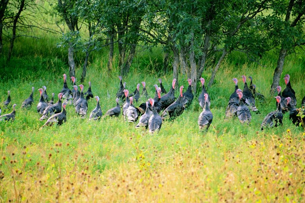 Wild turkeys. photo: thinkstock
