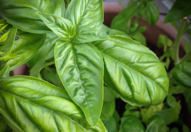 fresh-basil for vegan pesto